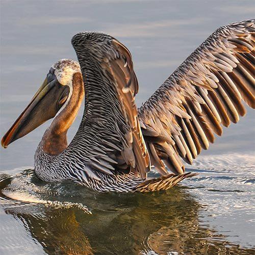 Image: Brown Pelican