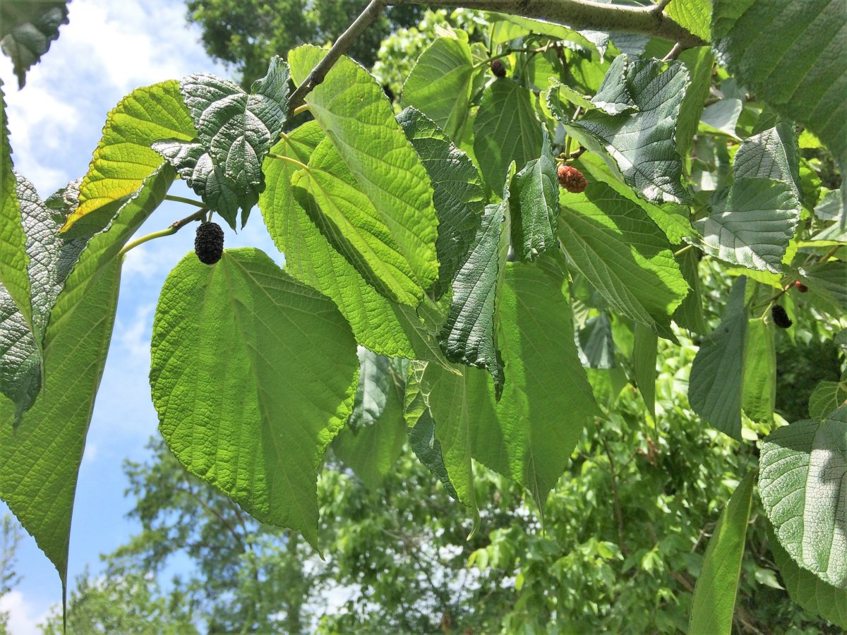 Red Mulberry - Plaquemines Parish/Woodlands Conservancy Park
