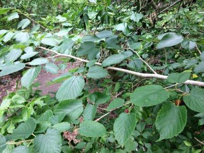 Red Mulberry - Plaquemines Parish/Woodlands Conservancy Park