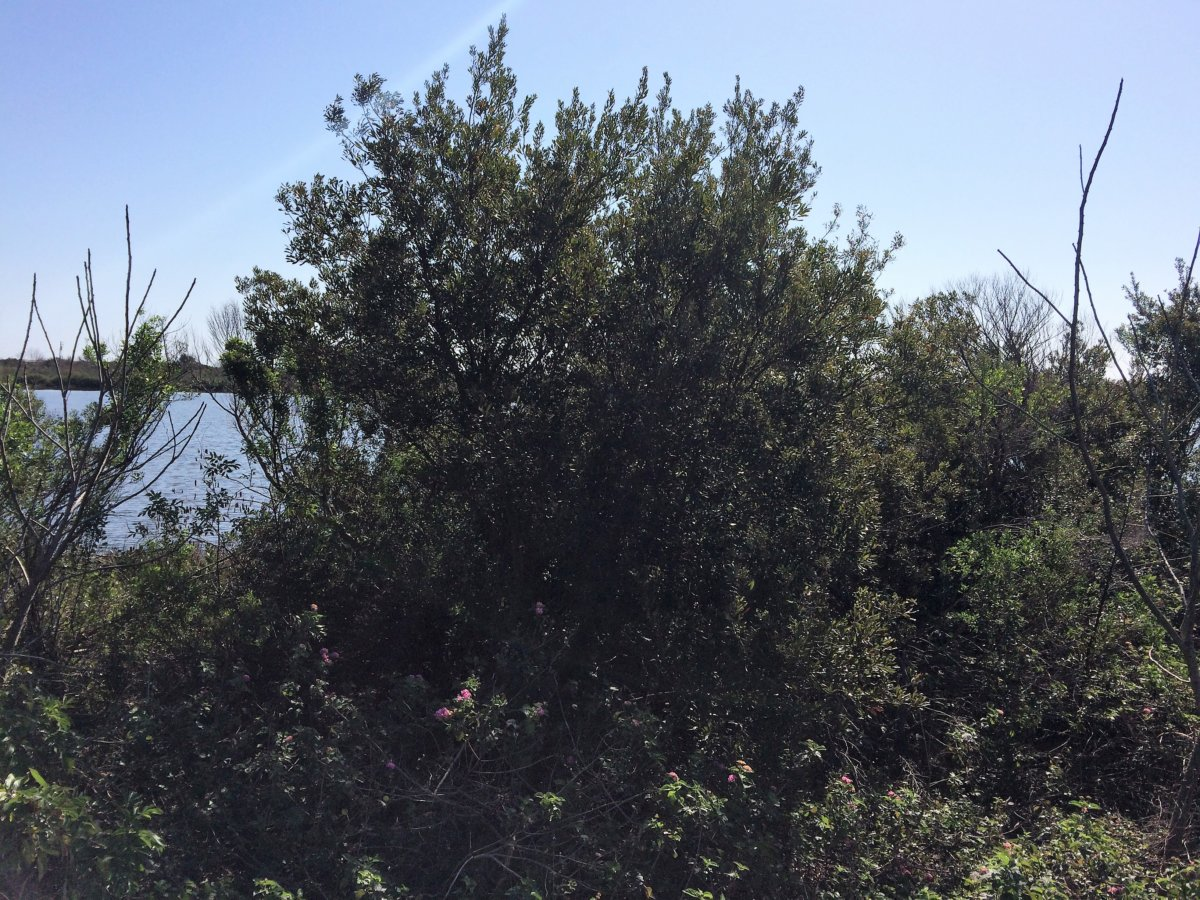 Wax Myrtle - Jefferson Parish/Grand Isle State Park