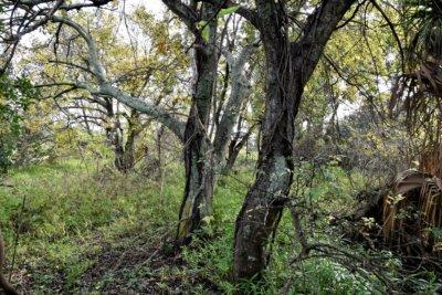 Hackberry - Jefferson Parish/TNC Grilleta Tract